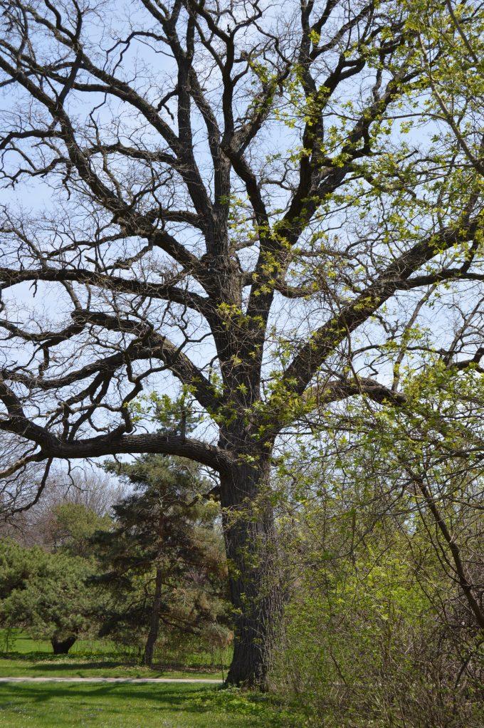 Slow Oak