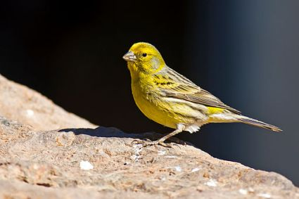 Serinus_canaria_-Parque_Rural_del_Nublo,_Gran_Canaria,_Spain_-male-8a